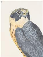 White Fronted Falcon